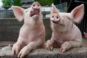 Singing Pigs