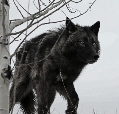 Black wolf stock image